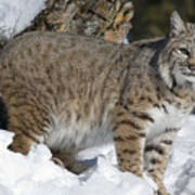 Bobcat Lynx Rufus In The Snow Print by Matthias Breiter