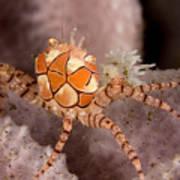 Boxer Crab On Sponge Lybia Tesselata Print by Tim Laman