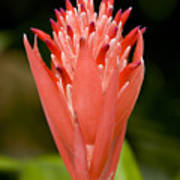 Bromeliad Flower, An Epiphyte From C & Print by Tim Laman