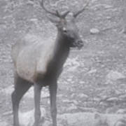 Buck In Fog On Hurricane Ridge - Olympic National Forest - Olympic National Park Wa Print by Christine Till