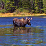 Bull Moose In The Mountains Print by Terril Heilman