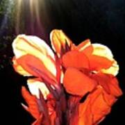 Canna Lily Print by Will Borden