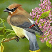 Cedar Waxwing On Lilac Print by Karen Coombes