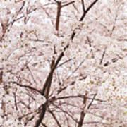 Cherry Blossom Spring Print by Ariane Moshayedi
