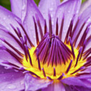 Close Up Of Violet Water Lily Print by Tosporn Preede