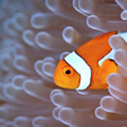 Clownfish In White Anemone Print by Alastair Pollock Photography