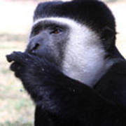 Colobus Monkey Print by Aidan Moran