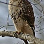 Cooper's Hawk 2 Print by Joe Faherty