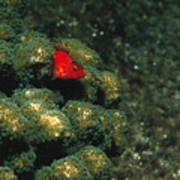 Coral Hawkfish Hiding In Coral Print by James Forte