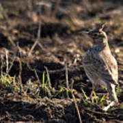 Crested Lark Print by Cliff  Norton