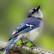 Curious Blue Jay Print by Inspired Nature Photography Fine Art Photography