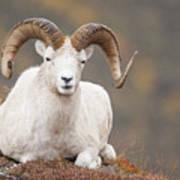 Dall Sheep Ram Print by Tim Grams