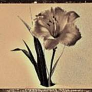 Daylily Of Old Print by Marsha Heiken