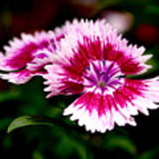 Dianthus Print by Rona Black