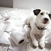 Dog Lying On Bathroom Floor Amongst Shredded Lavatory Paper Print by Chris Amaral