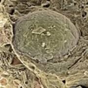 Egg Cell, Sem Print by Steve Gschmeissner