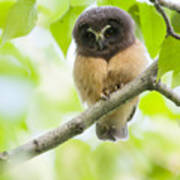 Fledgling Saw-whet Owl Print by Tim Grams