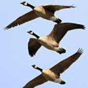 Flight Of Three Geese Print by Wingsdomain Art and Photography