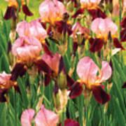 Flower - Iris - Gy Morrison Print by Mike Savad