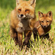 Fox Family Print by Mircea Costina Photography