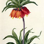 Fritillaria Imperialis Print by Pierre Joseph Redoute