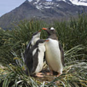 Gentoo Penguin And Young Chicks Print by Suzi Eszterhas