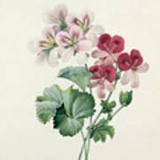 Geranium Variety Print by Pierre Joseph Redoute