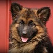 German Shepherd Puppy - Queena Print by Sandy Keeton