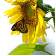 Glowing Monarch On Sunflower Print by Edward Sobuta