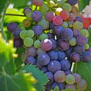 Grapes Print by Kelly Wade