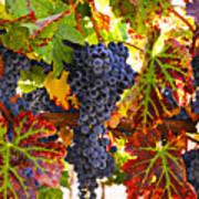 Grapes On Vine In Vineyards Print by Garry Gay