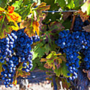 Grapes Ready For Harvest Print by Garry Gay