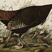 Great American Hen And Young Print by John James Audubon