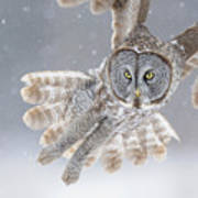 Great Grey Owl In Snowstorm Print by Scott  Linstead