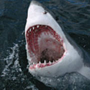 Great White Shark Jaws Print by Mike Parry
