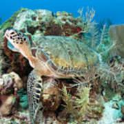 Green Sea Turtle On Caribbean Reef Print by Karen Doody