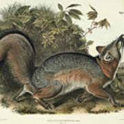 Grey Fox Print by John James Audubon