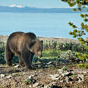 Grizzly Sow At Yellowstone Lake Print by Sandra Bronstein