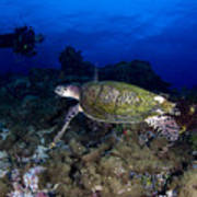 Hawksbill Turtle Swimming With Diver Print by Steve Jones