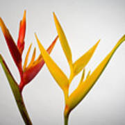 Heliconia Print by Tomas del Amo - Printscapes