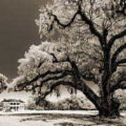 Historic Drayton Hall In Charleston South Carolina Live Oak Tree Print by Dustin K Ryan