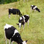 Holstein Cattle Print by Gaspar Avila
