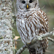 Hoot Hoot Hoot Are You Print by Beve Brown-Clark Photography