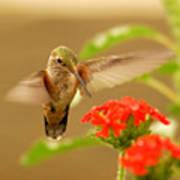 Hummingbird Print by Don Wolf
