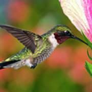 Hummingbird Feeding On Hibiscus Print by DansPhotoArt on flickr
