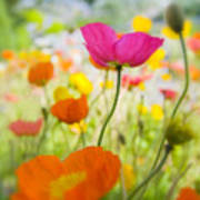Iceland Poppies Print by Silke Magino