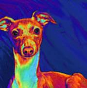 Italian Greyhound  Print by Jane Schnetlage