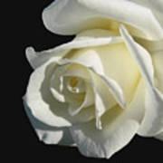 Ivory Rose Flower On Black Print by Jennie Marie Schell