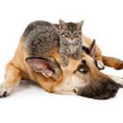 Kitten Laying On German Shepherd Print by Susan  Schmitz