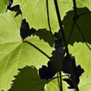 Leaves Of Wine Grape Print by Michal Boubin